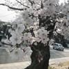 ☆哲学の道の桜🌸