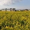 ソレイユの丘、1月の菜の花畑