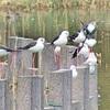 セイタカシギがいっぱい…谷津干潟探鳥会!