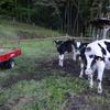 2日目の牛とつばめ