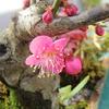 梅が咲いた (プリザーブドフラワー ハートローズ)