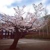 松本市音楽文化ホール、桜が満開だよ。