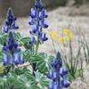 青いルピナスと黄色い菜の花と、色々な空も