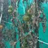 12月、中玉トマト採取 追熟