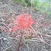 彼岸花の早咲き
