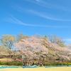 桜を見てきました