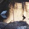 シラサギ・コガモ・カワウ【特別編】小さな川の水鳥物語