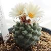 サボテン 菊水 Strombocactus disciformis