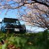 椹野川沿いの桜2019