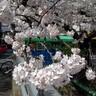 宇治川の桜並木、一瞬の出来事でした。
