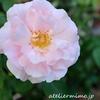 遅咲きバラのランキング