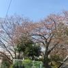 近所の開花前の桜