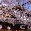 内山邸の夜桜ライトアップ