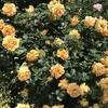 バラ栽培講座(1) バラを毎日観察して、環境を整える