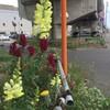 金魚草の花言葉