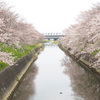 昨日の桜 @ 焼津