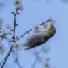 野鳥撮影・梅とメジロ