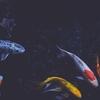 鯉…それは恋だけど今後のことメイン