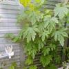 夏野菜の収穫始まっています☆が,ミニトマトに苦戦中・・・