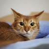 【猫画像】かわいい ソマリ の画像集
