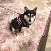 【犬得】外出自粛になるとお散歩が捗る?【柴犬+桜=可愛い】