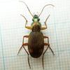 自宅周りで採集した虫たち(オサムシ科)