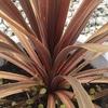 #7 コルジリネとワイヤープランツ コルジリネの葉の色