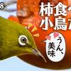 1118【柿を食べる小鳥たち】メジロやシジュウカラ、ヒヨドリ。コゲラやオナガ、カルガモダイサギなど。モズのオスの大きな目が可愛い。紅葉モミジとイチョウ【 #今日撮り野鳥動画まとめ 】 #身近な生き物語
