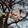 お堀の染井吉野が開花していました。 高崎城址公園周辺散歩 染井吉野・小彼岸桜・もくれん・浅間山&谷川連峰