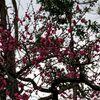 上野の紅梅