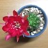 花鏡丸が赤い美麗花を咲かせました!