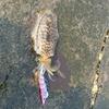 spring squid