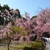 京都 平安神宮の桜~2