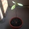 【ベランダ菜園】種から育てたアボガドがこんなに大きくなりました