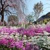 早咲きの桜が見頃です。2020 - 都筑の風景