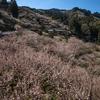 奈良県の絶景スポット。西吉野町 南朝の里 賀名生の梅林へ。一山すべてが梅林で埋め尽くされた情景は圧巻だ。