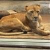 ズーラシアでライオンを見ました