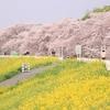 桜並木と菜の花が織りなす幻想の世界。埼玉県熊谷市「熊谷桜堤」へ