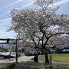 桜の季節にサポーターを干しながら…