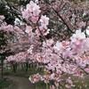 一宮市の萬葉公園(戸苅河津桜園?)にカワヅサクラを見に行った