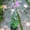 ☆新商品入荷☆優美と幽玄。フラジャイル感覚が魅力の古典園芸植物「伊勢ナデシコ」など