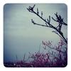 崖の上の梅咲く春
