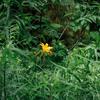ニッコウキスゲによく似た「ムサシノキスゲ」が咲く里山が近所にあると知って散策してきた【浅間山公園】