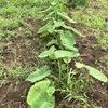 サトイモを眺めつつ、オクラの管理作業を行った2019年7月