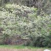 ワイルドなオオシマザクラです