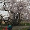 4月19日(金)春爛漫、会津の春は非常に短い久し振りの石部桜
