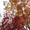 【Tokyo autumn-leaves】Ginkgo dyed Tokyo streets impressive yellow. So I would like to answer when is best time of autumn leaves?