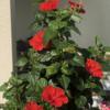 ハイビスカスの花の思い出