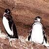 温暖化、世界の鳥類に打撃 7割以上が絶滅する地域も