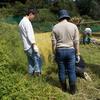 伊香立の田んぼで稲刈り